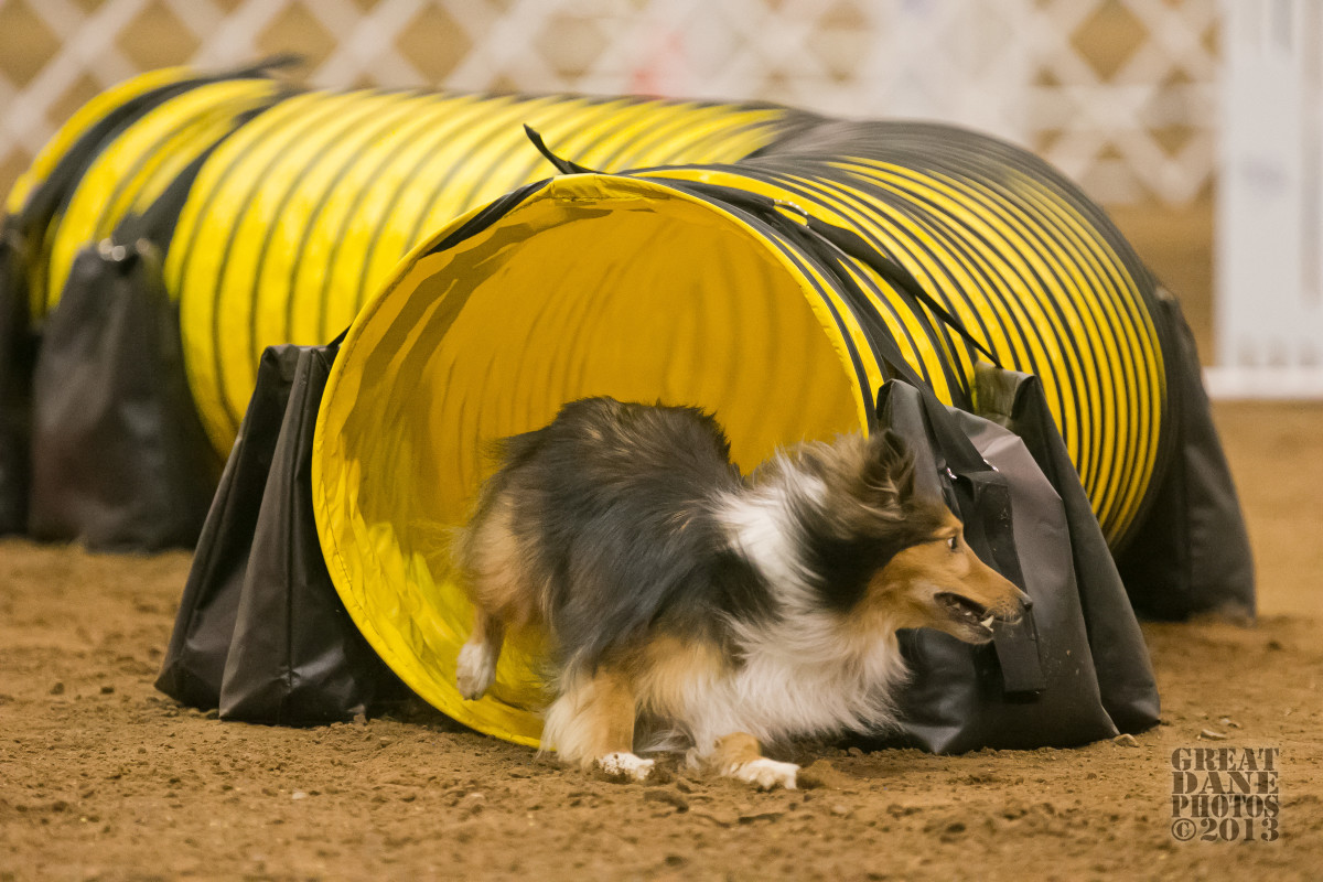 This Sheltie uses his dew claws to help him make a hard left turn out of the tunnel in the Hybrid round at the 2013 AKC Agility National Championships.