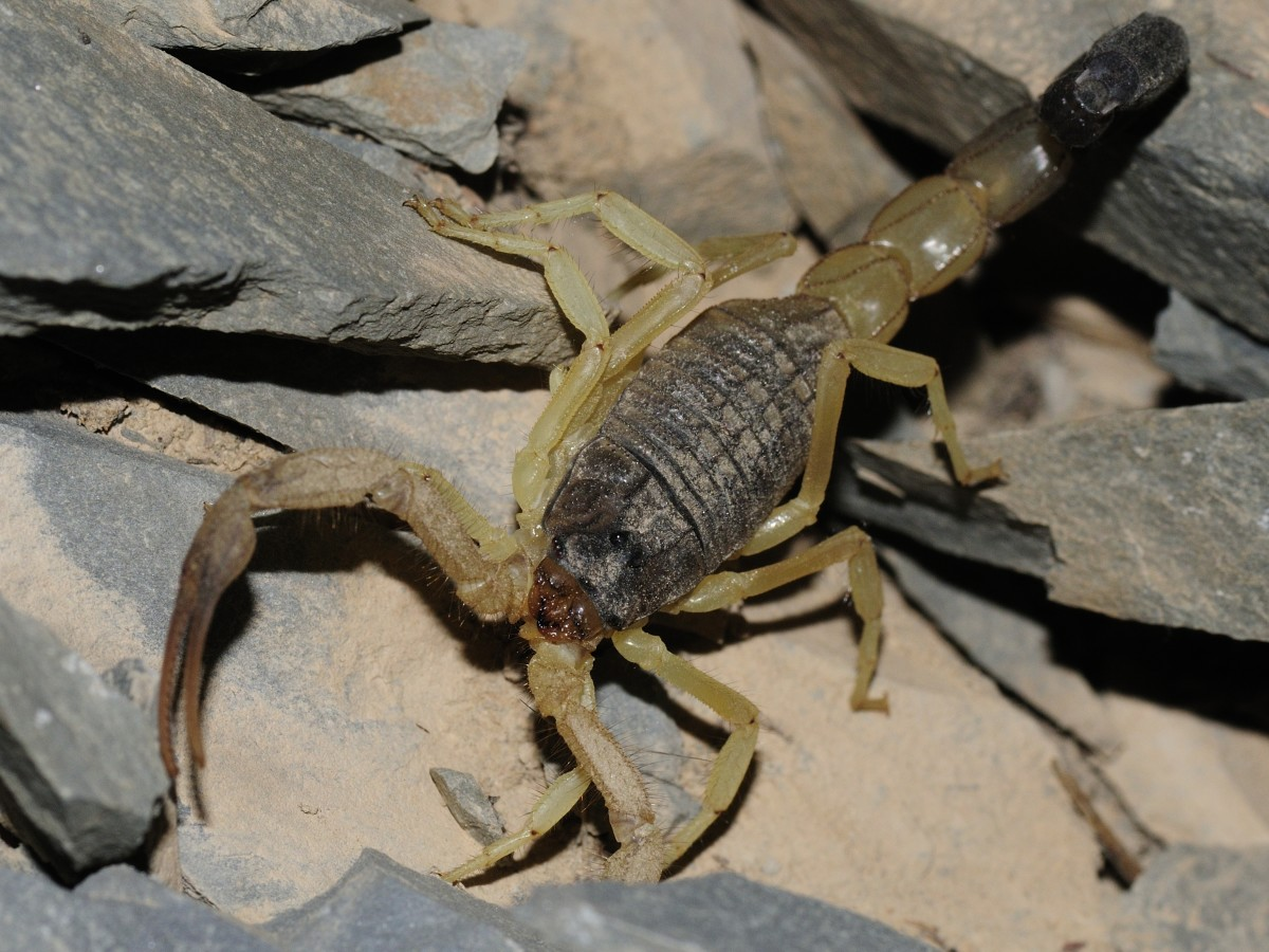 Six of the Most Dangerous and Unique Scorpions in the World