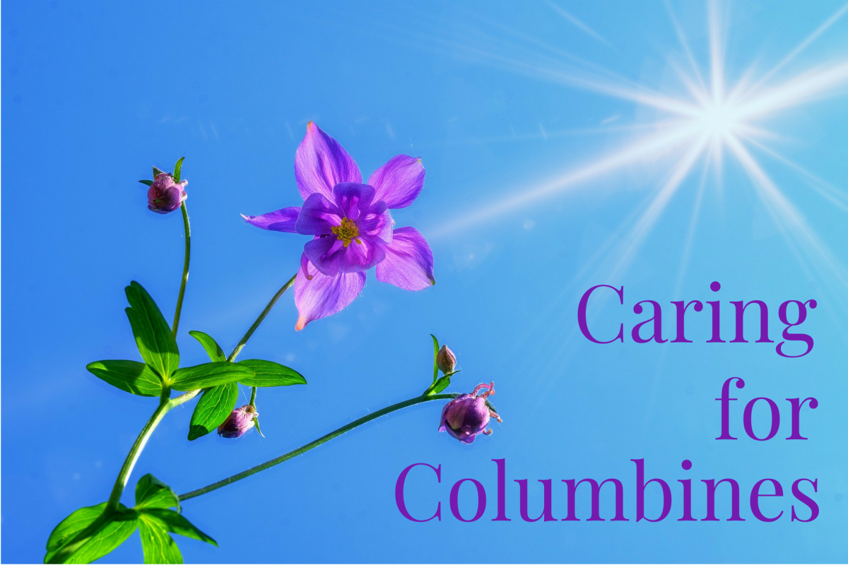 Columbines are surprisingly easy-to-grow perennials that add a layer of delicate beauty to any garden.