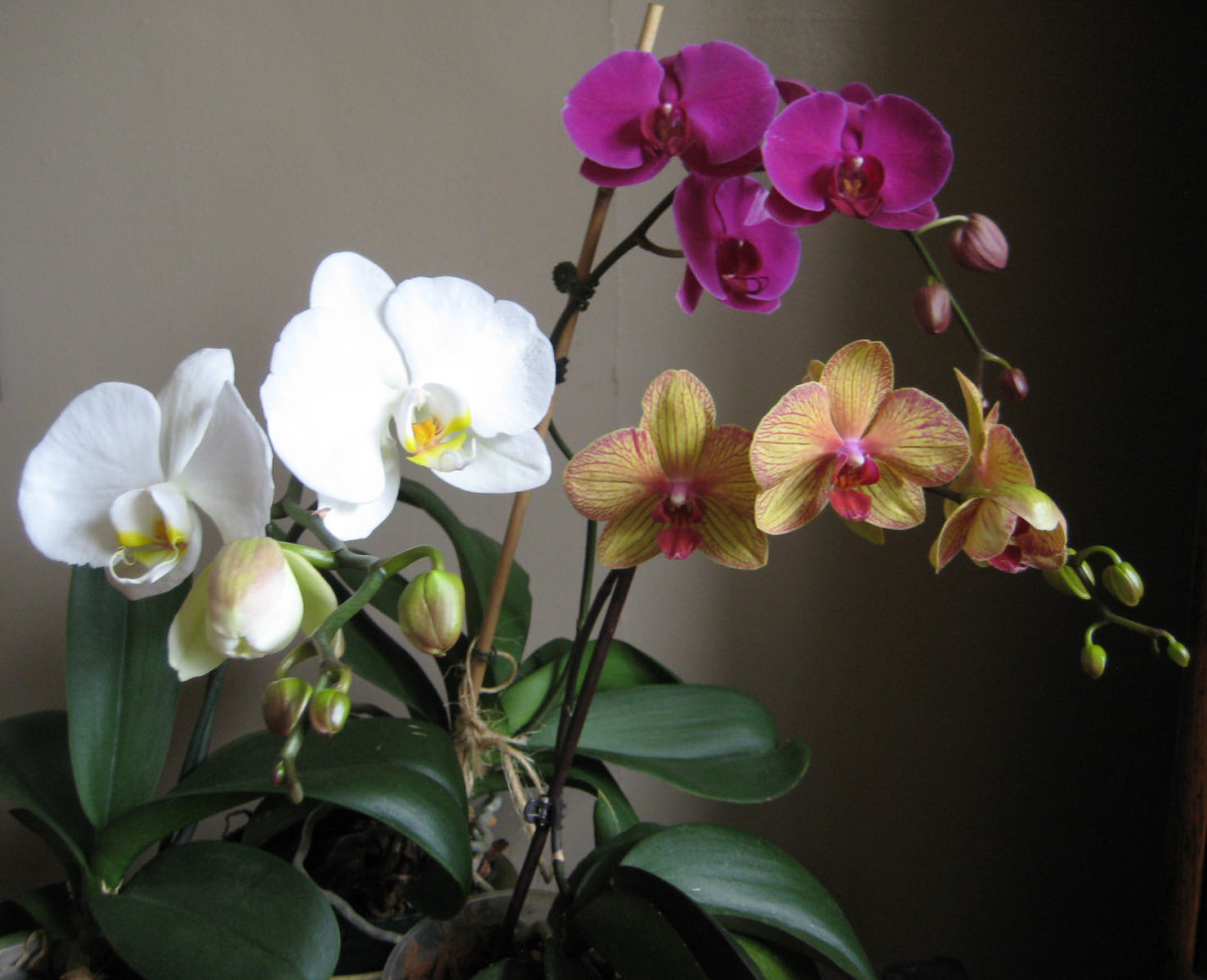 Three of my orchids in bloom