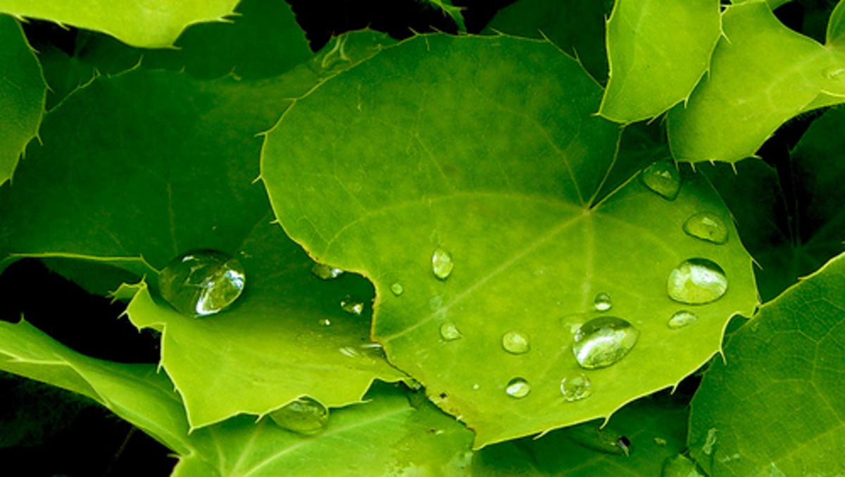 The hydrophobic effect can be seen on leaves that have a waxy surface.