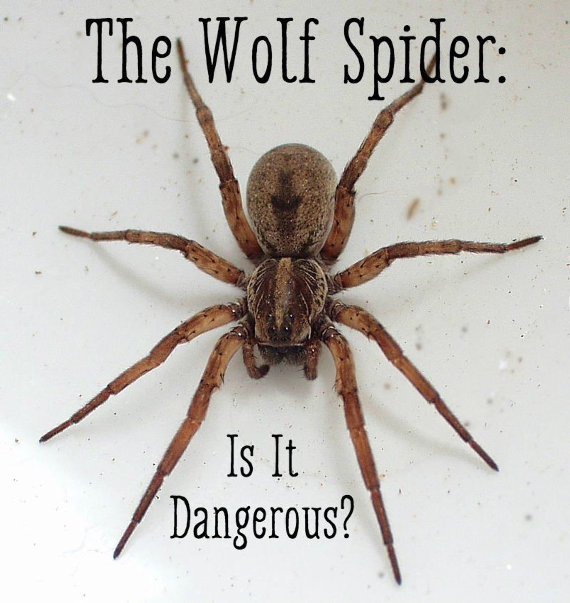 How to Identify a Wolf Spider: 11 Steps (with Pictures) Brown wolf spider bite pictures