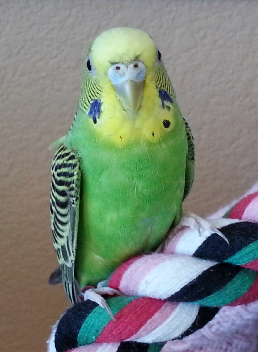 What to Do If You Cut Your Parakeet's Nail Too Short