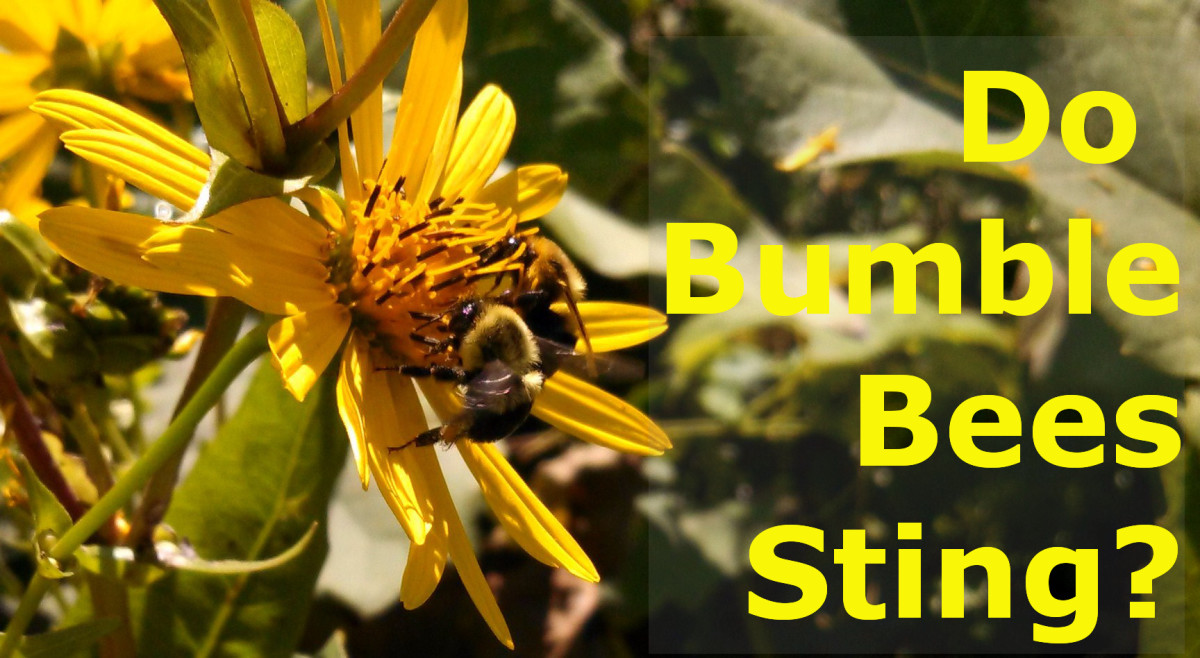 My Bumblebee Sting: How Much Does It Hurt?
