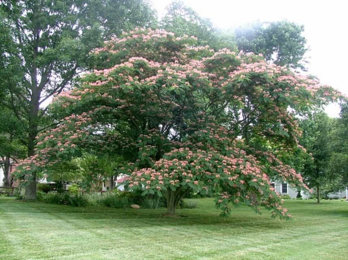 Facts About the Persian Silk Tree and Tips for Care