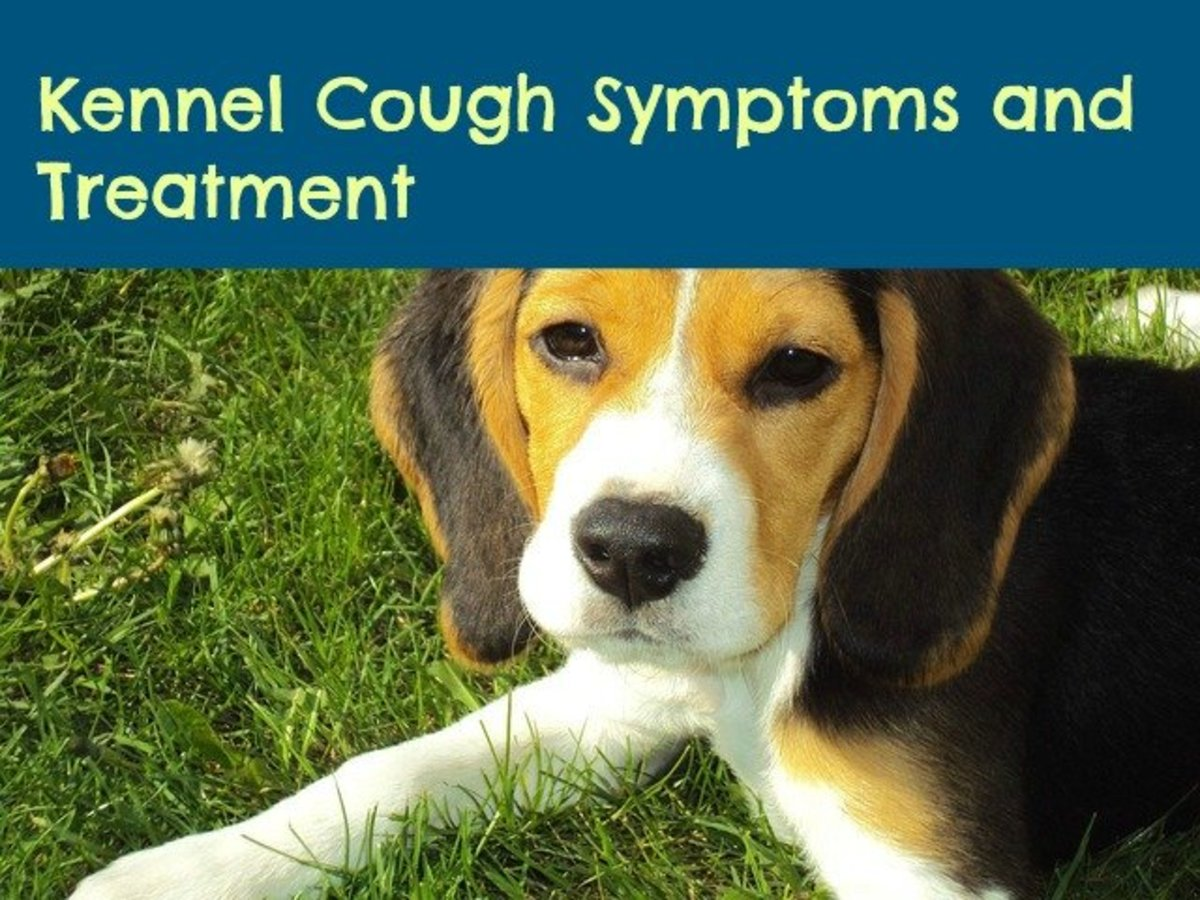 Kennel Cough Symptoms and How to Treat Them