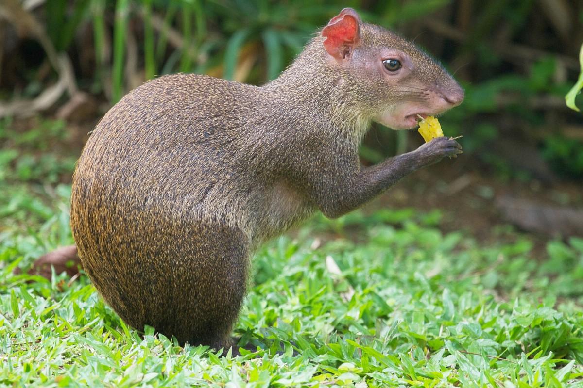 An agouti in Panama