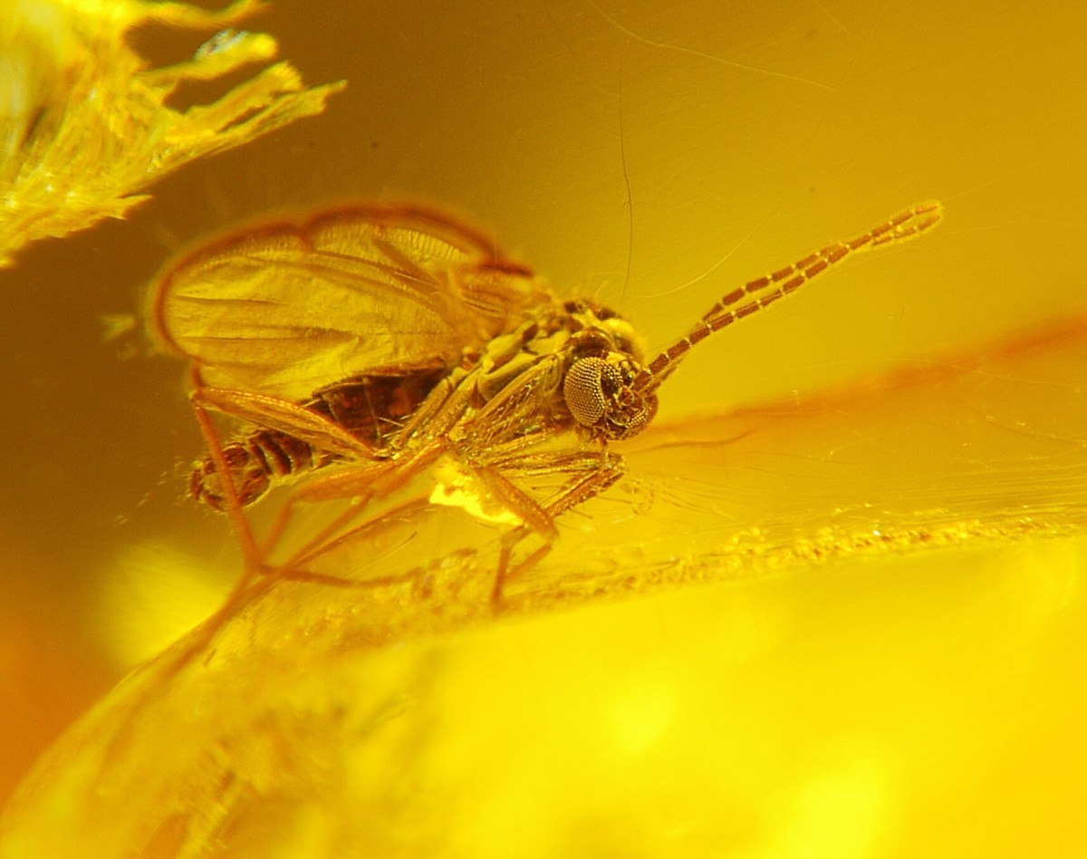 An ancient dark-winged fungus gnat preserved in exquisite detail in amber