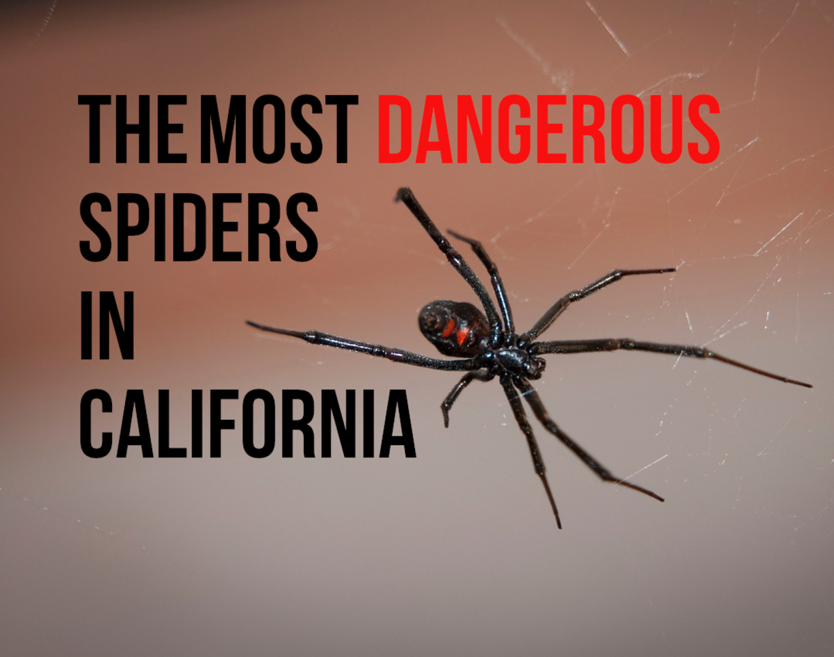 If you want to find out more about the most venomous spiders found in California, read on...