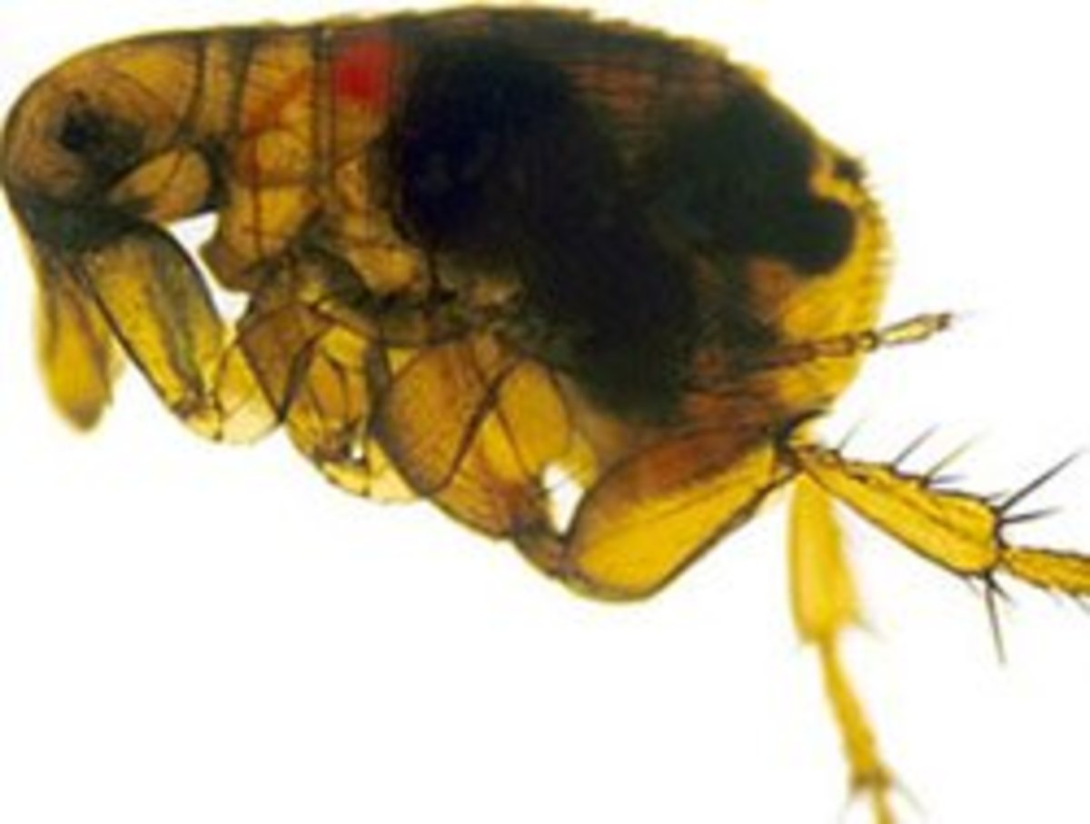 An Oriental rat flea with the black death infecting its gut (dark region).