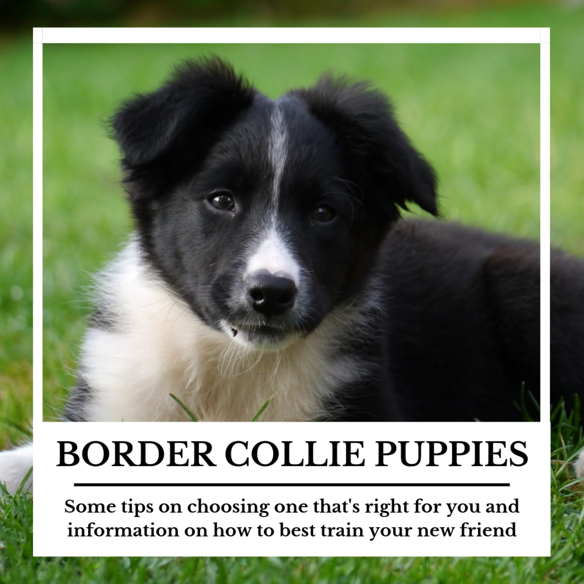 This article will provide you with plenty of information to help you choose a border collie that's right for you, as well as provide guidance on how to best train it.