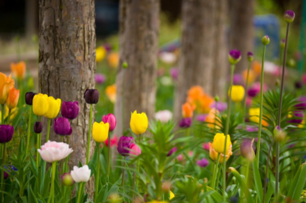 Buying Tulips - Flowering Times, Best Perennial Bulbs
