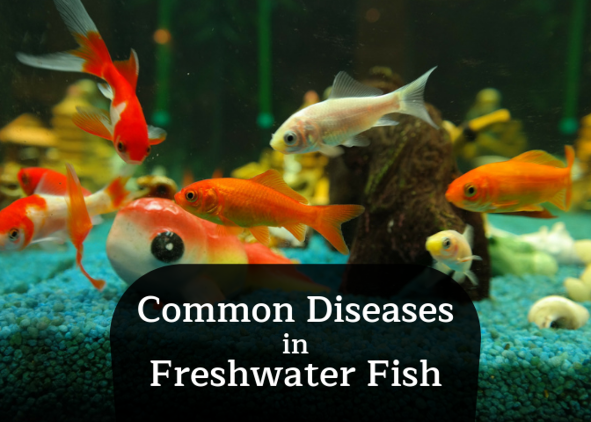 How to Recognize Common Diseases in Freshwater Fish: Ich and More