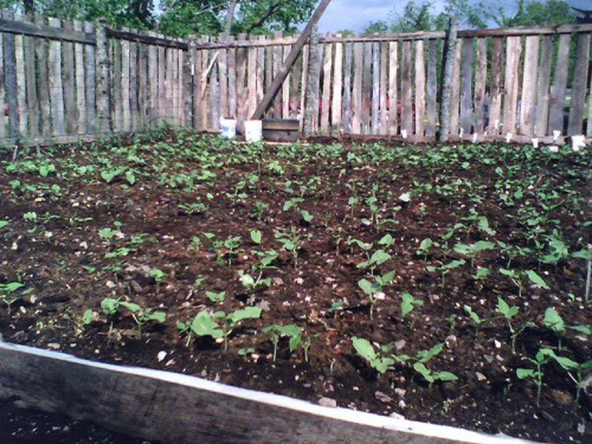 Even a novice can grow bush green beans.