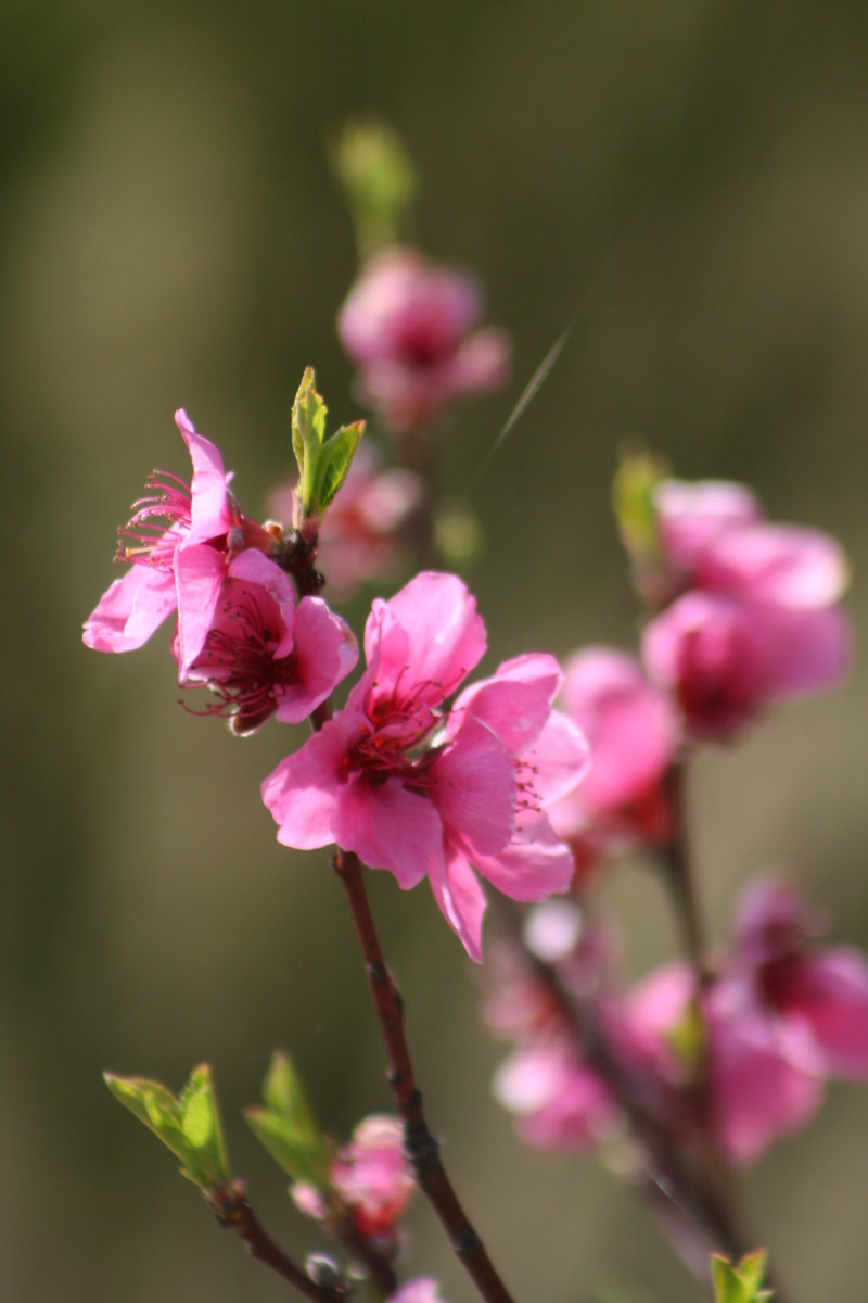 Blossoms in spring bring promise of fruit. Stone fruit such as peach blossoms, plums, apricots, and nectarines give me the first indication that spring is arriving.