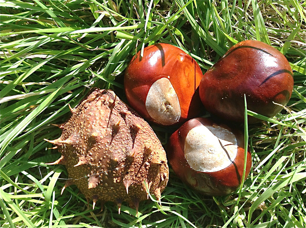 Conkers and a fruit capsule dropped by a horse chestnut tree