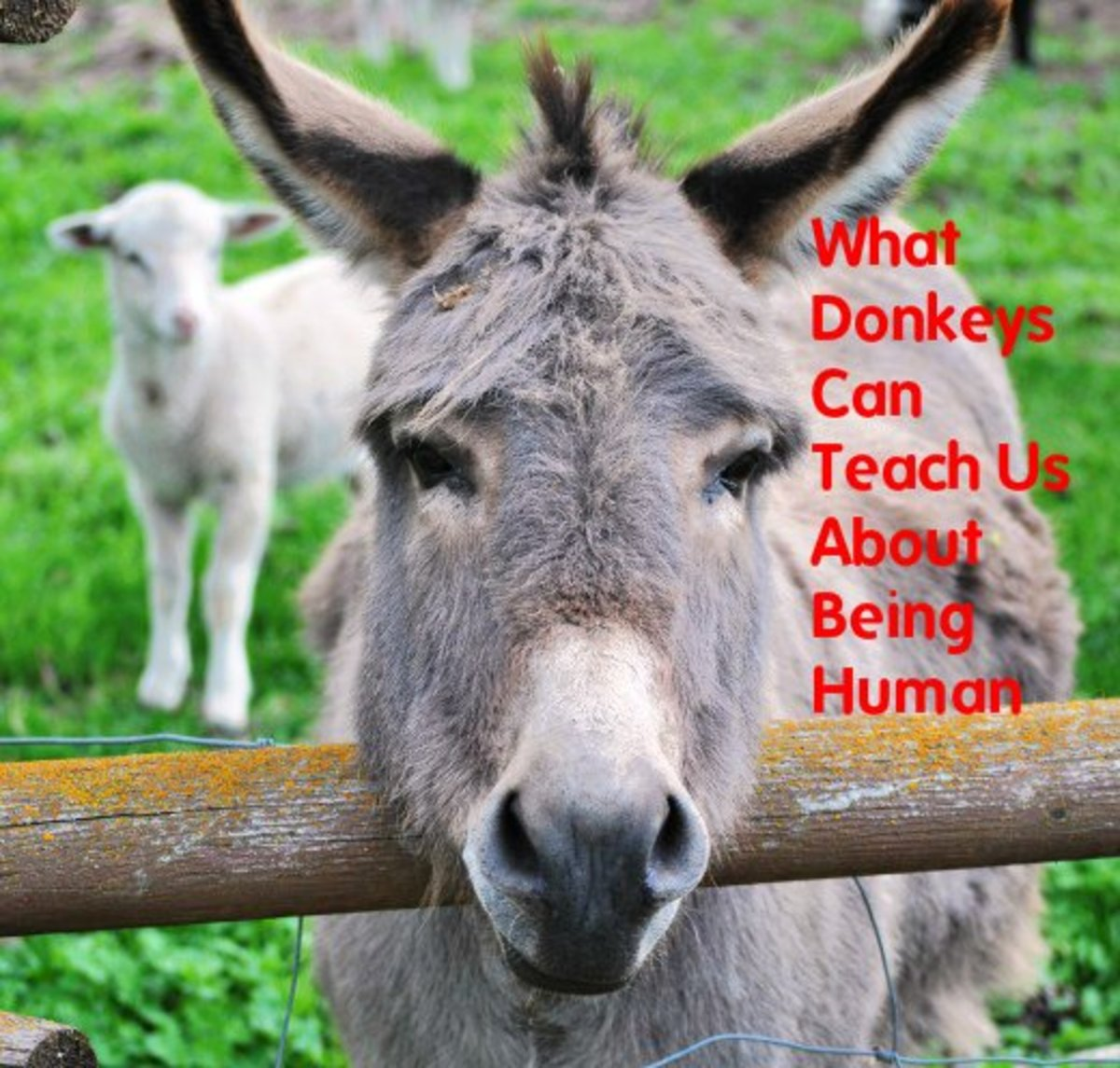 Donkeys develop strong attachments to humans and other animals and live an average of 40 years.  Full of character, they are different from horses emotionally, physically, and socially.  Let them teach you some life lessons.
