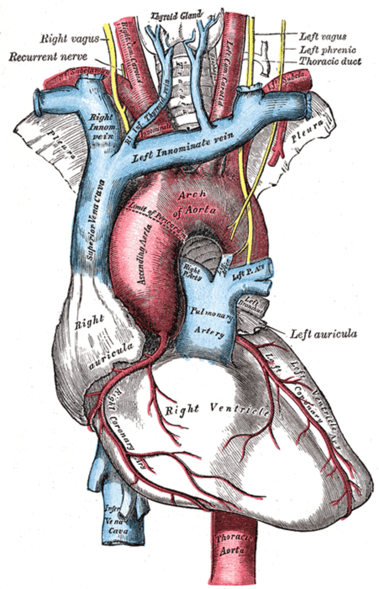 The vagus nerve touches many organs in the body, including the heart and the stomach.