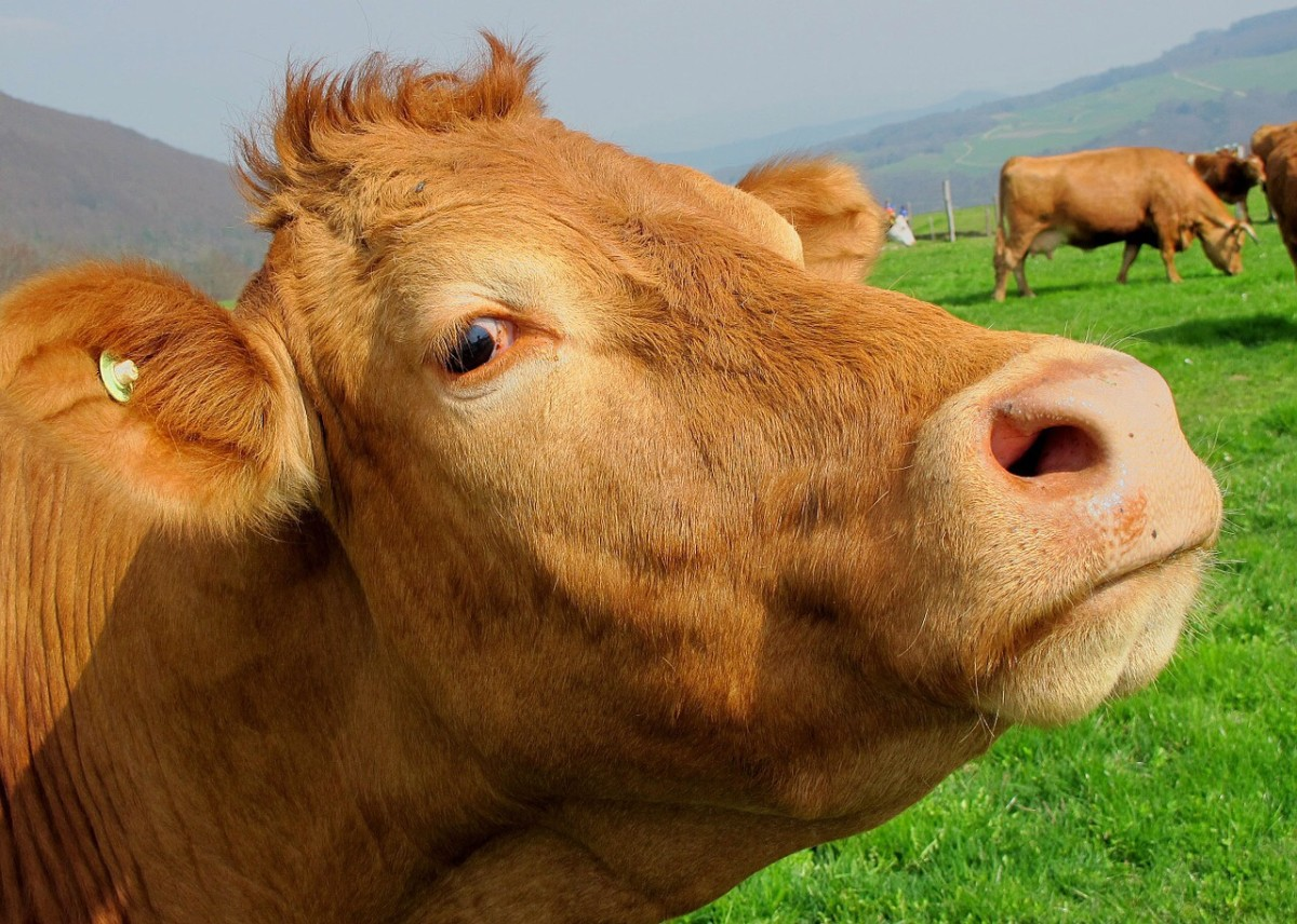 BSE, a prion disease, affects many different breeds of cattle. It can also trigger disease in humans.