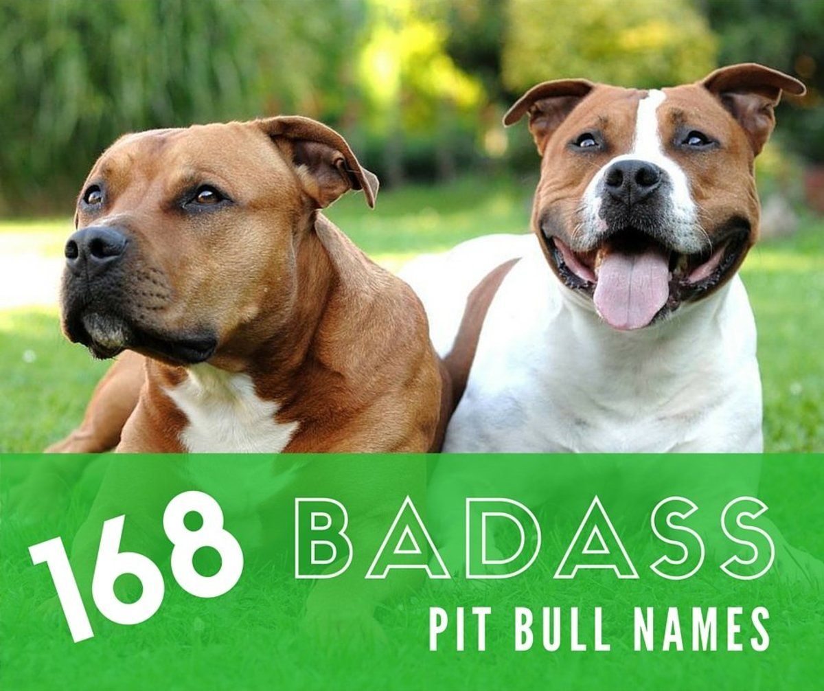 Badass Pit Bull Names for Males and Females
