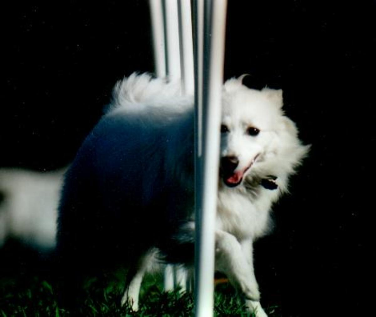The author's American Eskimo, Laika.