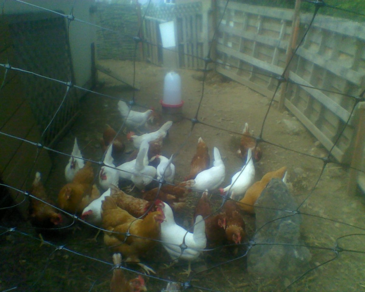 Chickens enjoying fresh air in their run ~ with one of their waterers in the background