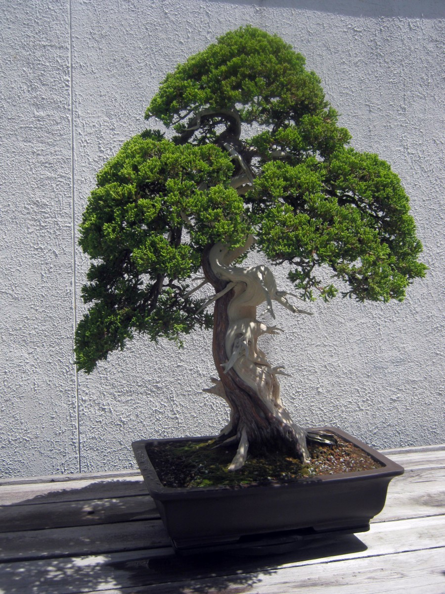 Bonsai Gallery From The Us National Arboretum Wanderwisdom Tree Wiring Video