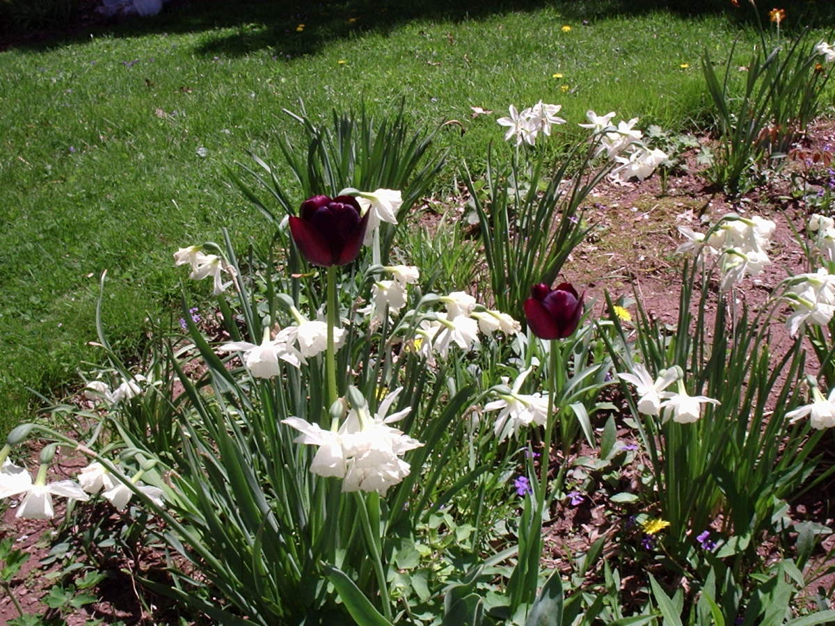 Daffodils and tulips blooming in the author's gardens