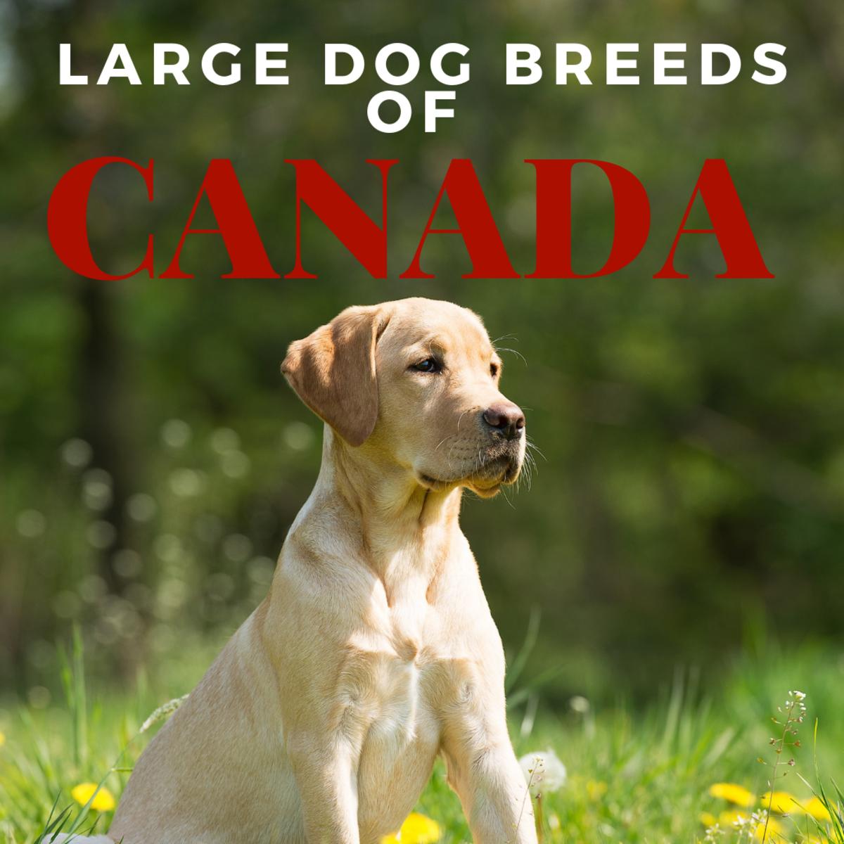 Labrador Retrievers are built to handle the Canadian snow.