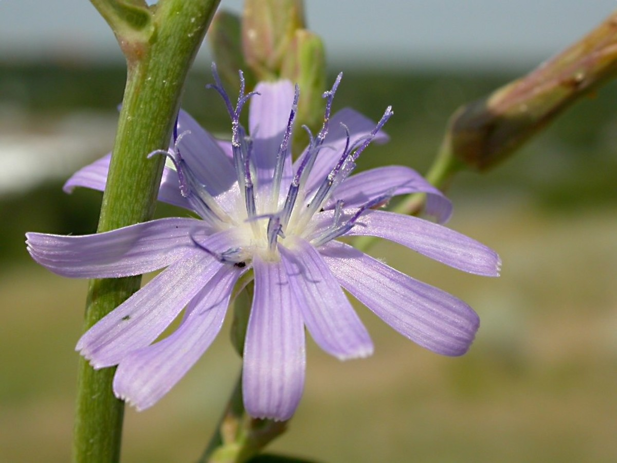 The root of Cichorium intybus or the common chicory is a great source of inulin.