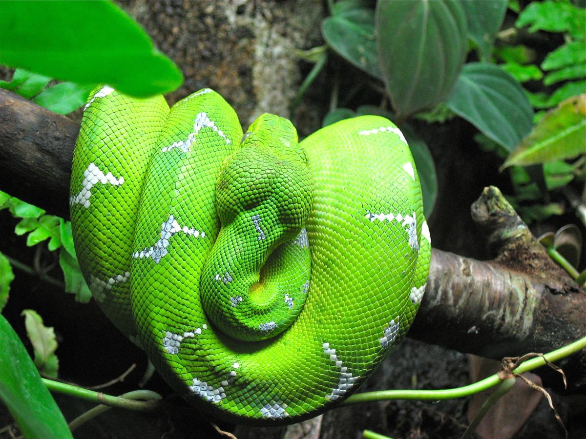 The Emerald Boa