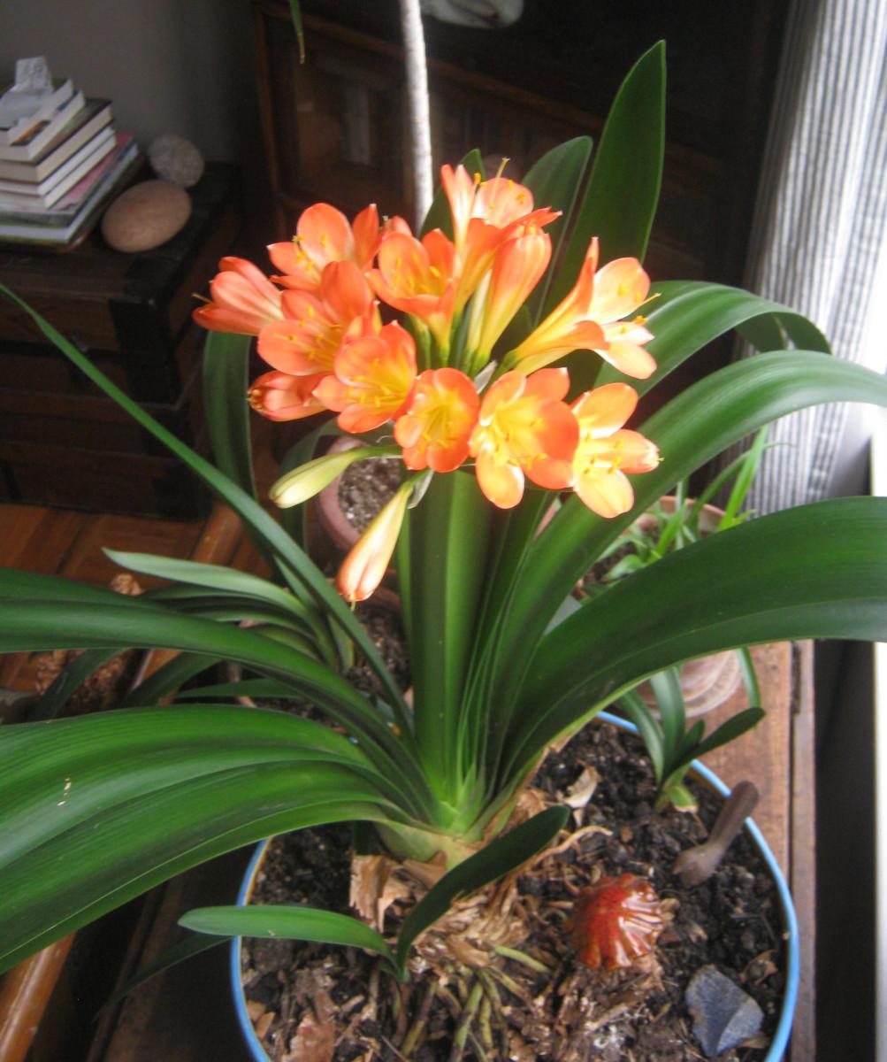 Clivea flowers have a luminous quality.