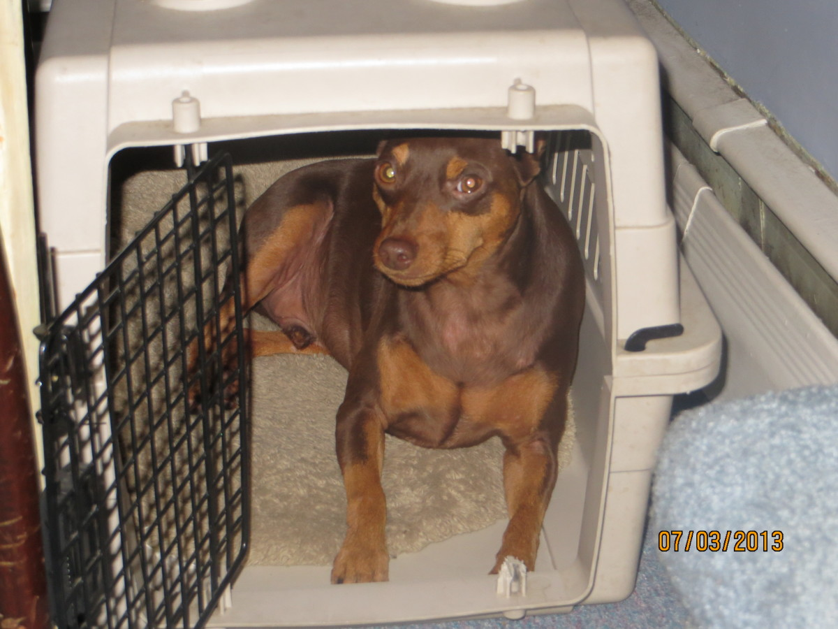 My Min Pin, Buzz—when Buzz is upset or embarrassed, he retreats to his safe place, his crate.