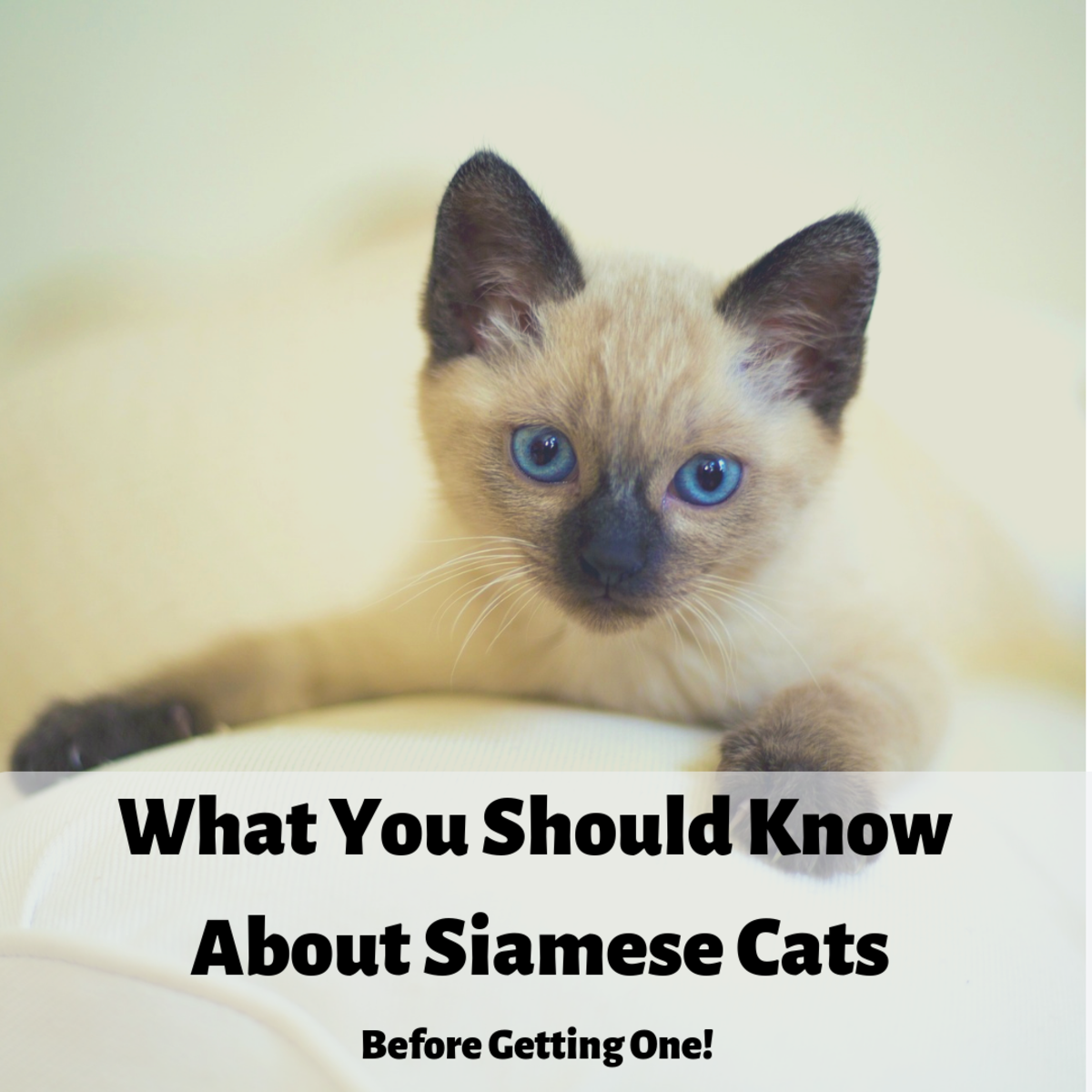 Here are some things you should know before you go out and get a Siamese cat.