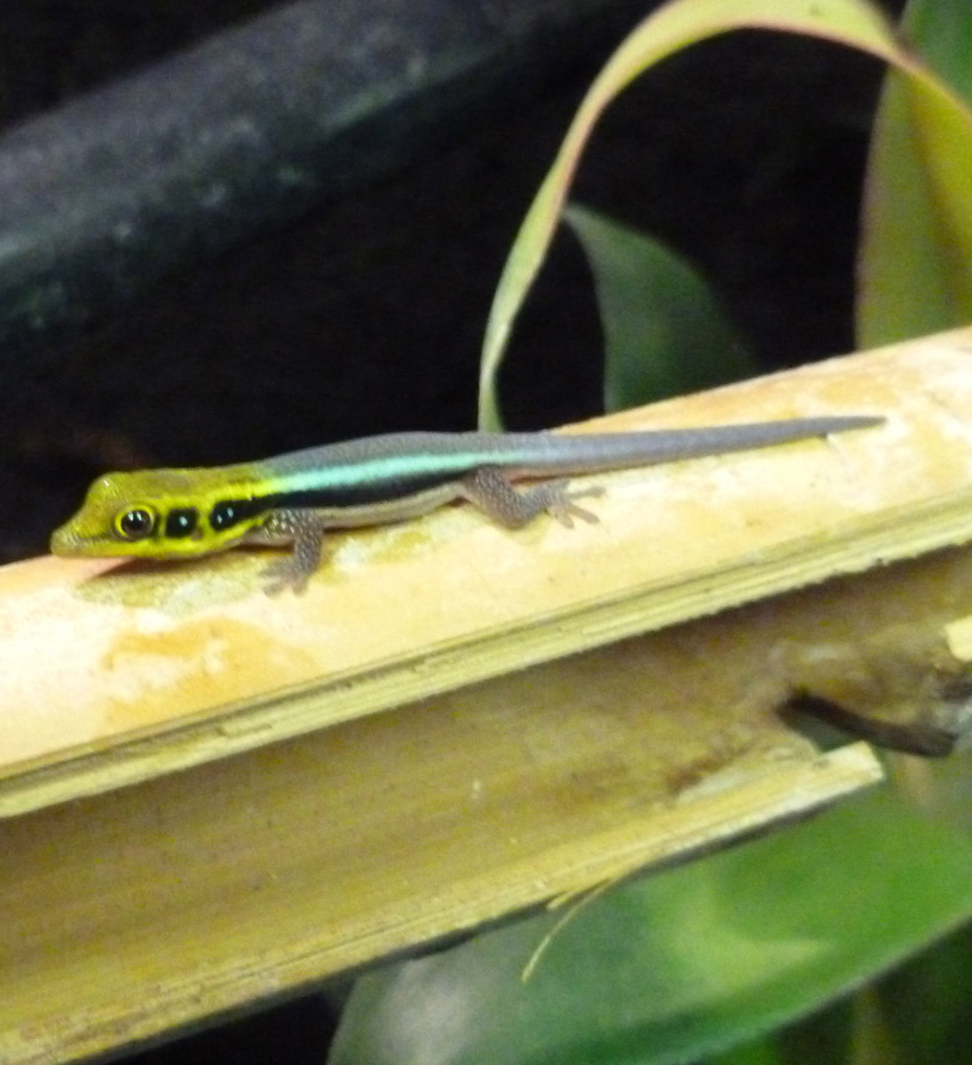 A newly hatched neon day gecko baby is tiny.