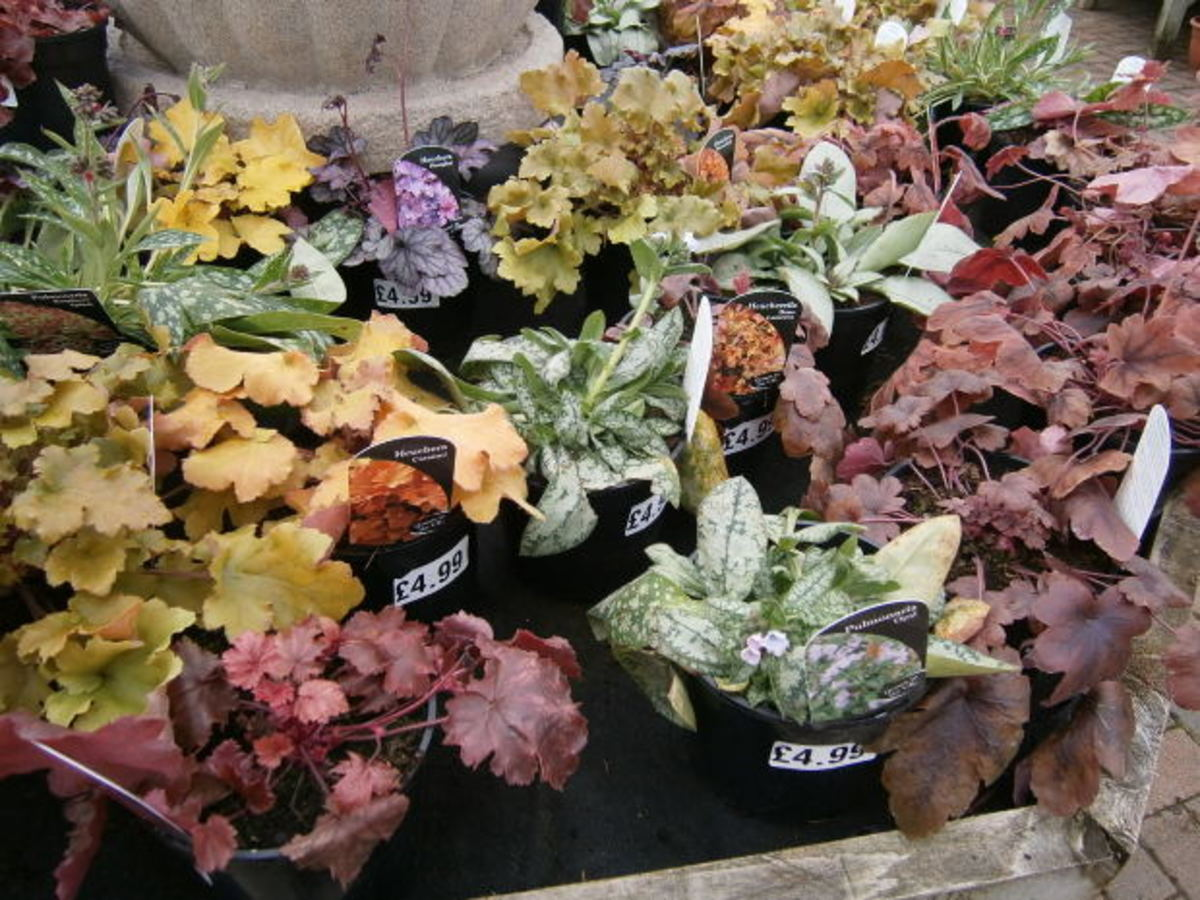 A large variety of coral bells are available to choose from.