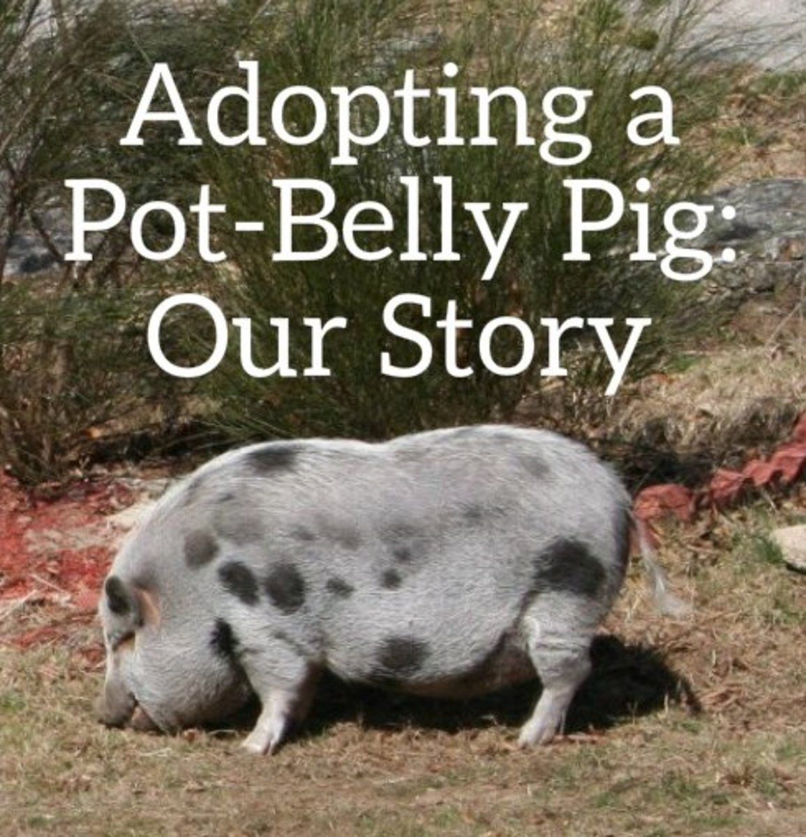 Adopting and caring for a domesticated pot belly pig pethelpful publicscrutiny Choice Image
