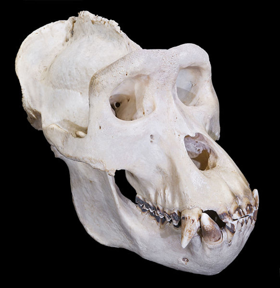Gorilla skulls like this one aren't common in the wild, but Bigfoot bones are unheard of.  One find could prove Bigfoot is real once and for all.