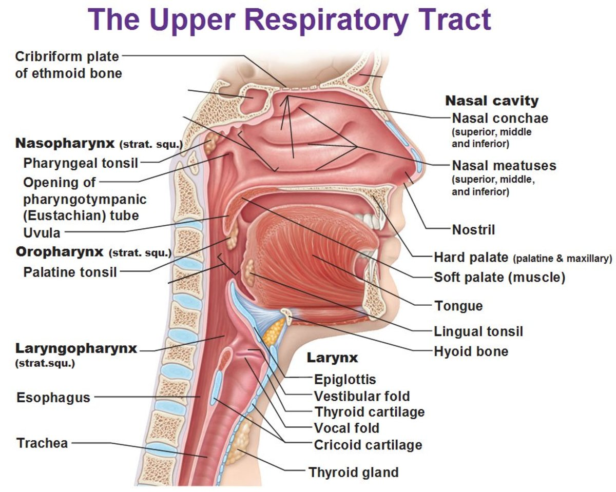 NonRespiratory Functions of the