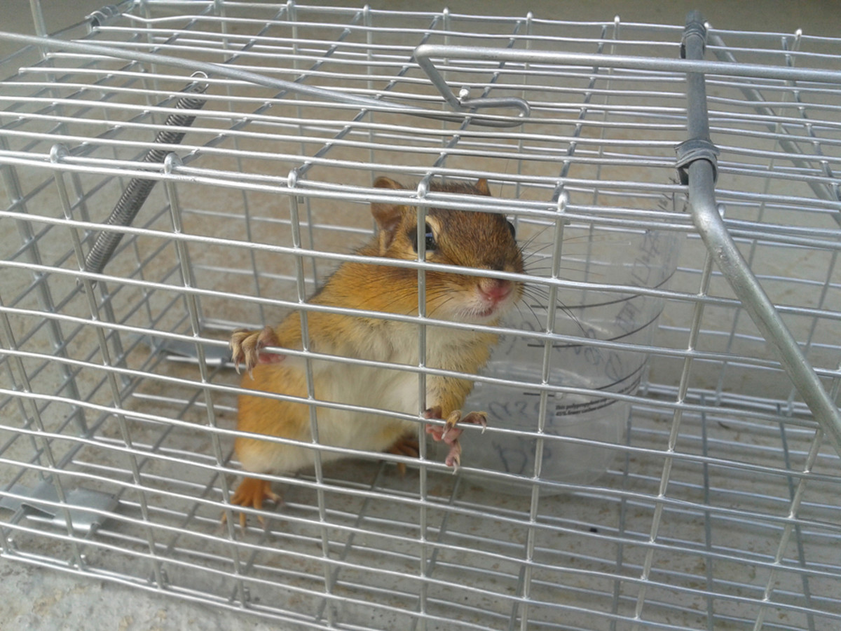 How to set up a trap to catch and release a chipmunk.