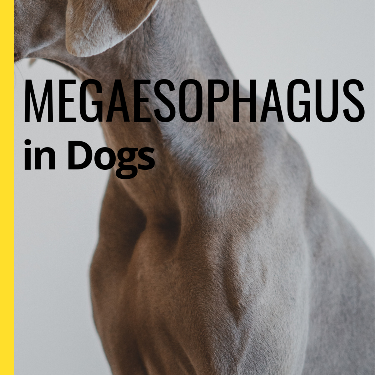 Managing Megaesophagus in Dogs