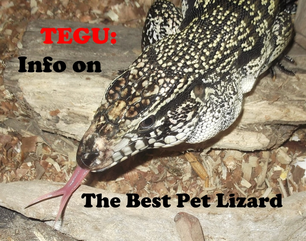 The Tegu is the best pet lizard.