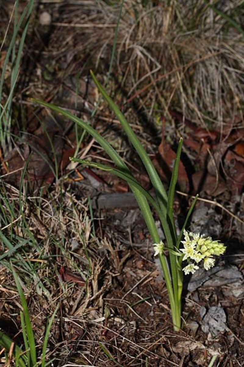 The death camas, shown here, looks a lot like a wild onion. They both have onion like leaves and bulbs. While wild onions can be a nice addition to any outdoor meal, eating the bulb of a death camas can be fatal.