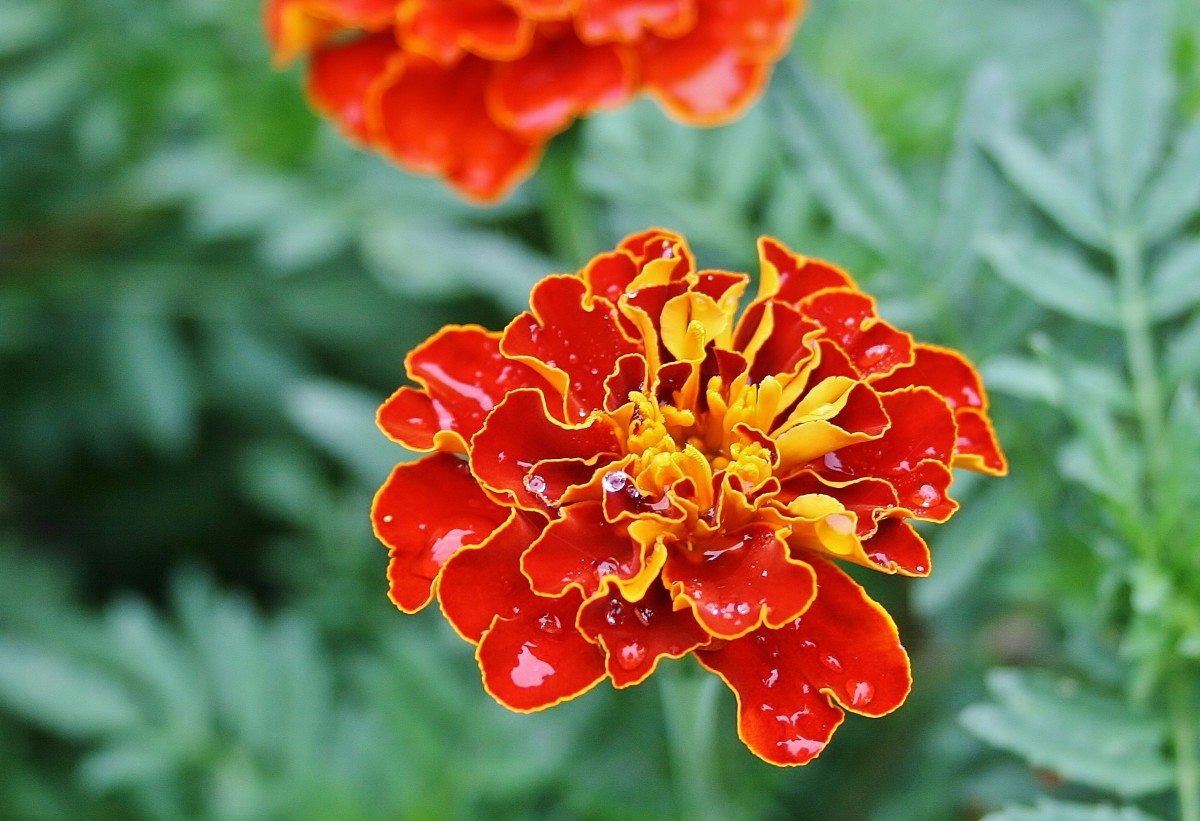 French Marigolds Aren't French (and Other Facts about Tagetes patula)