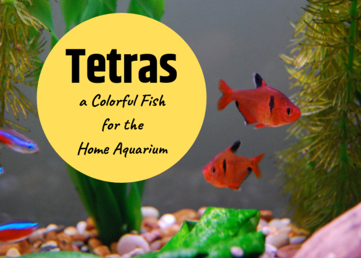 Tetras are very diverse fish. These are cardinal tetras on the left and serpae tetras on the right.