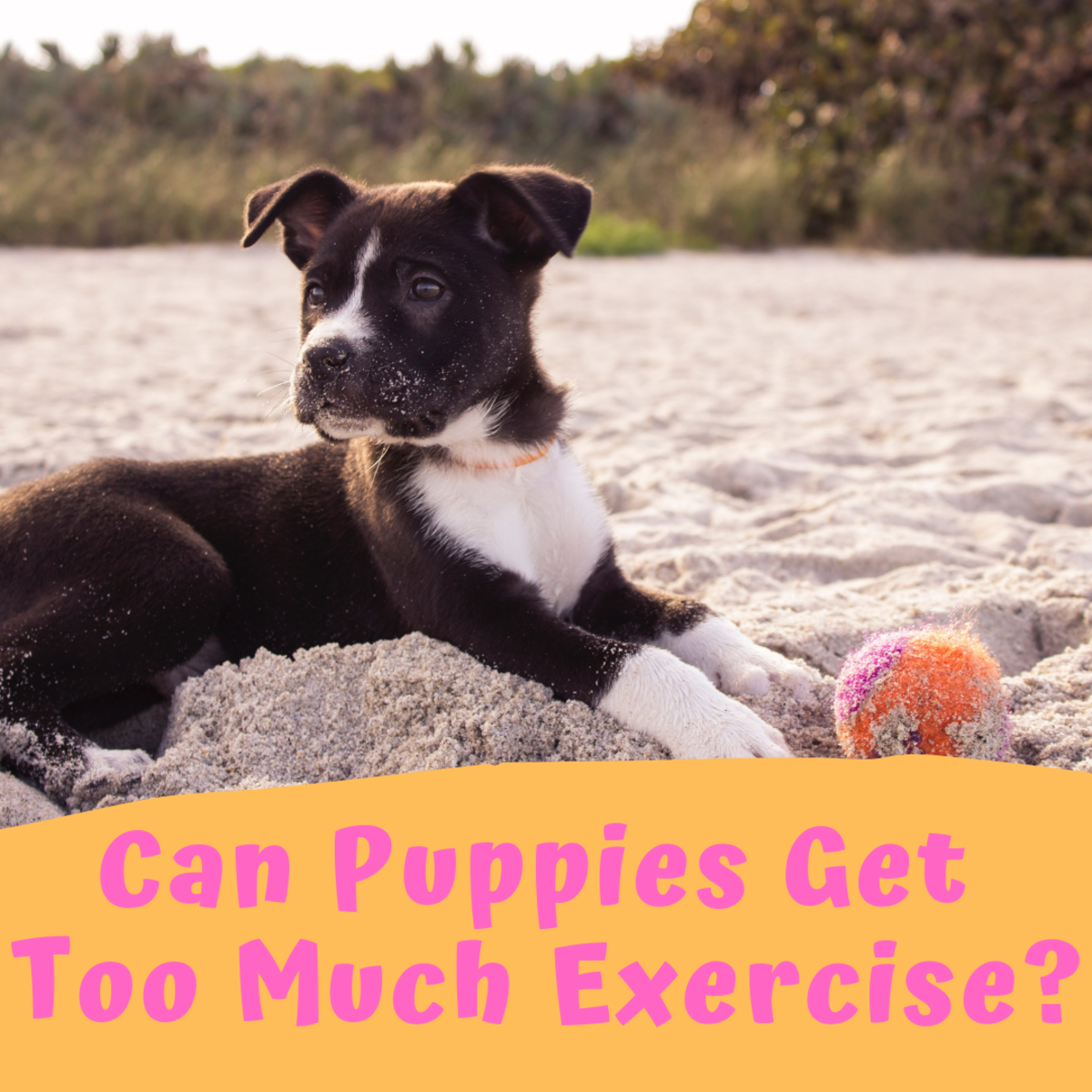 It might sound strange, but it is possible to overexercise your puppy!