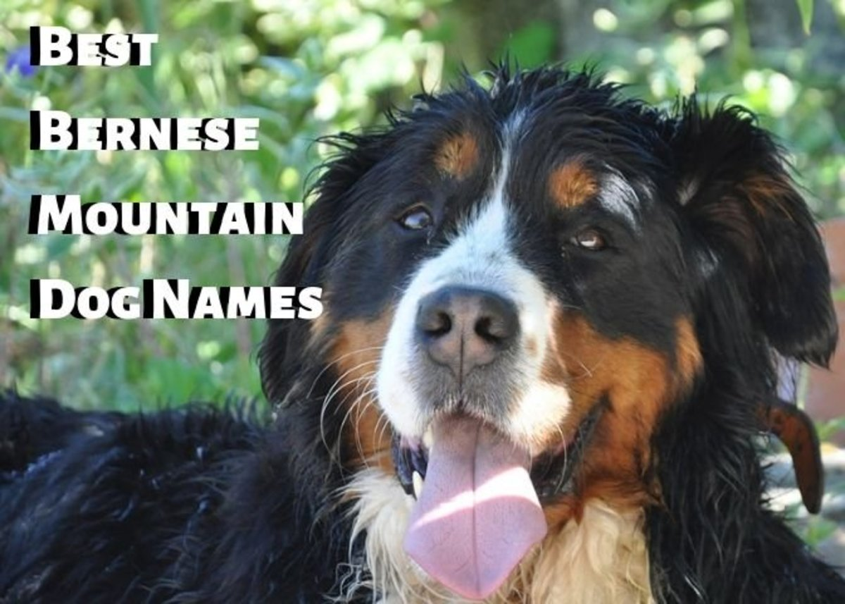 Bernese Mountain Dogs are beautiful creatures.