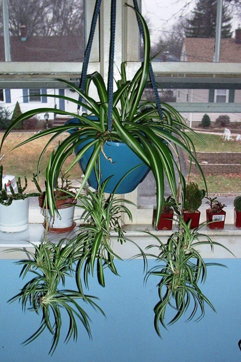 how to grow spider plants dengarden. Black Bedroom Furniture Sets. Home Design Ideas