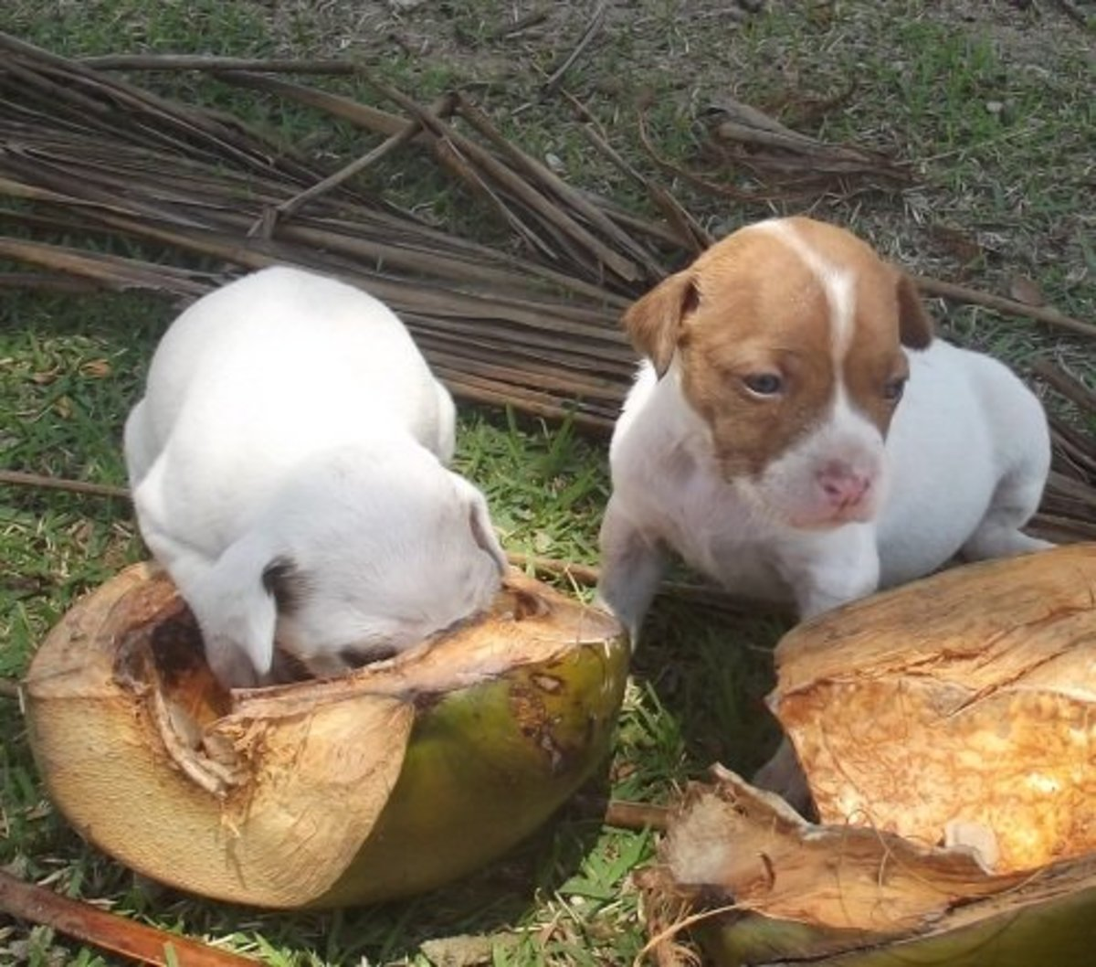 Most puppies agree: coconut water tastes good.