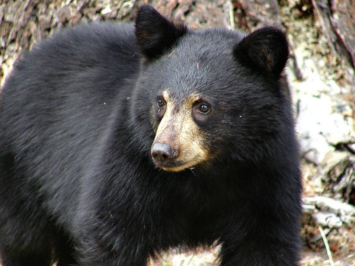 Despite their name, black bears can actually be black, brown, cinnamon, blond, blue-gray, or white in color.  They normally reside in forested areas, but will visit human communities in search of easy food sources.